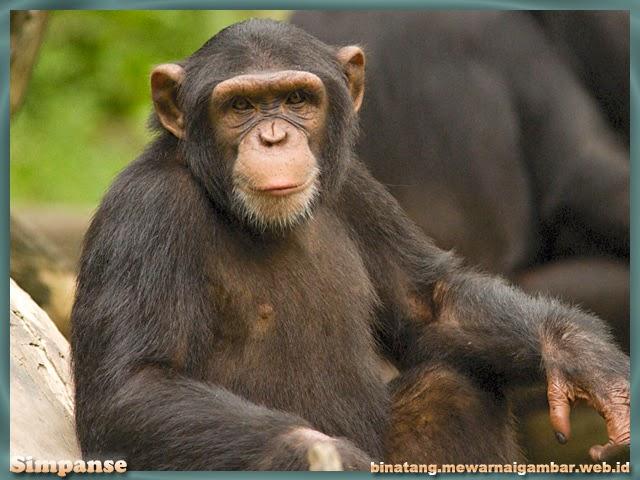 gambar simpanse