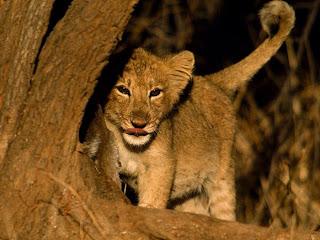 Foto Anak Singa