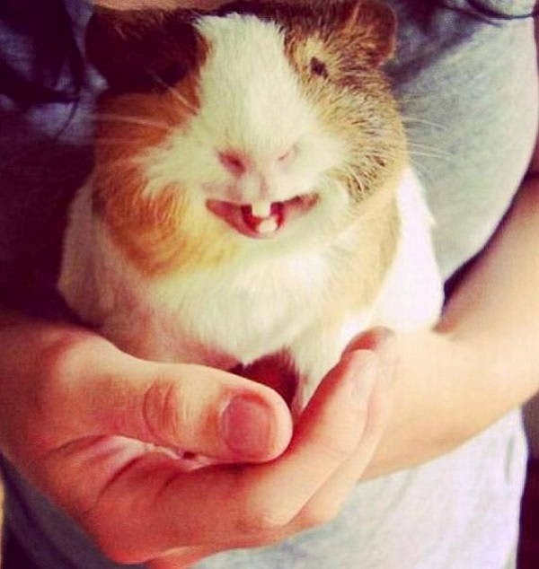 Funny animals of the week - 28 March 2014 (40 pics), cute guinea pig with bunny teeth