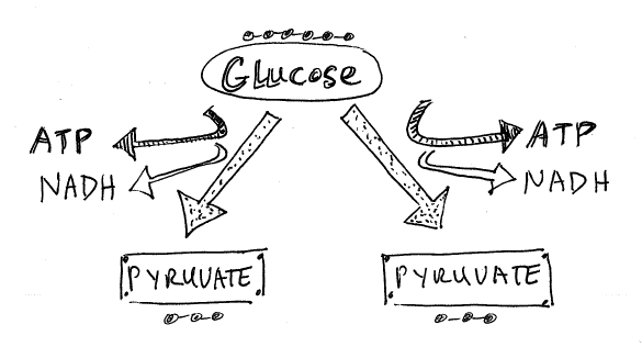 Chapter 8b cellular respiration biology as if it mattered glycolysis in a nutshell ccuart Choice Image