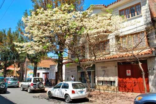 La ciudad de Tarija busca ser capital de los lapachos