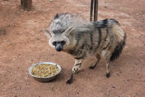 Stock Photo African Wild Dog Eating Piece further Brown Hyena Cubs further Watch besides Aardwolfs Facts further National Animal Of Burundi. on hyena eating