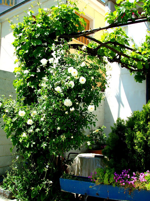 white roses beautiful garden