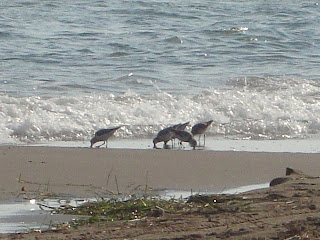 El Serrallo beach little birds - Tarragona