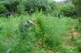 LAGOA GRANDE-PE: Policiais Militares do GATI erradicam plantação de maconha
