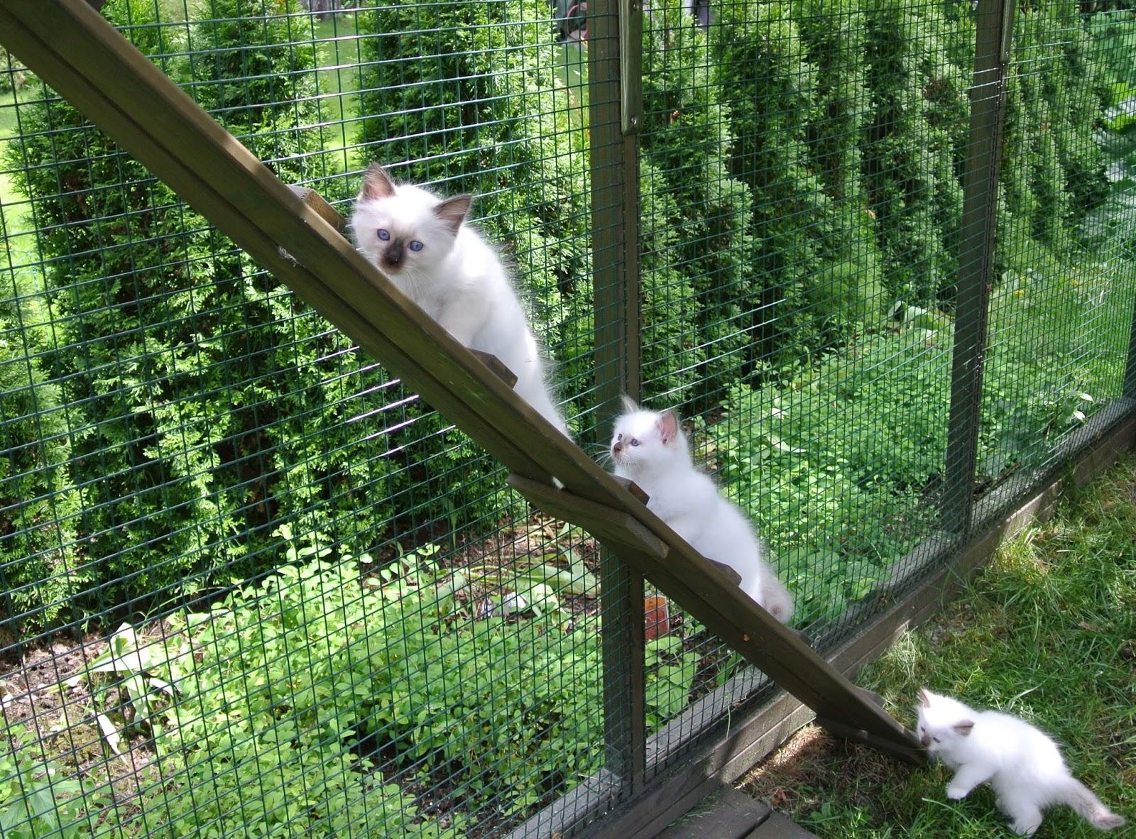 FeliMau Pyhä birma pentuja Sacred birman kittens
