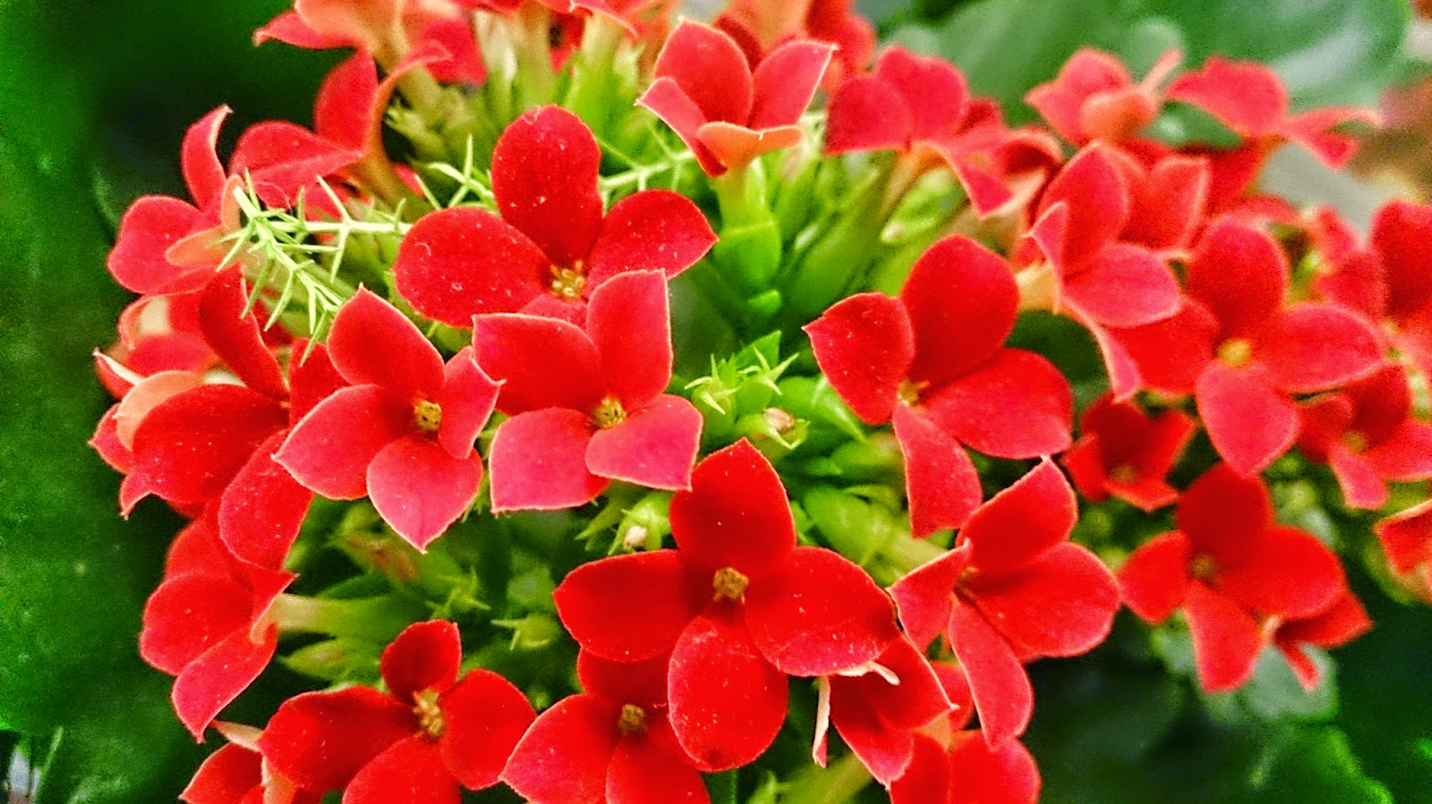 Red flowers: kalanchoe red flowers names
