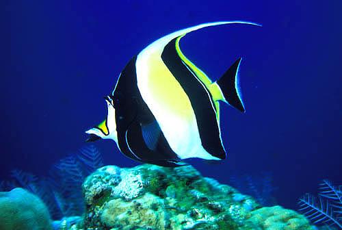 World facts for Moorish idol fish