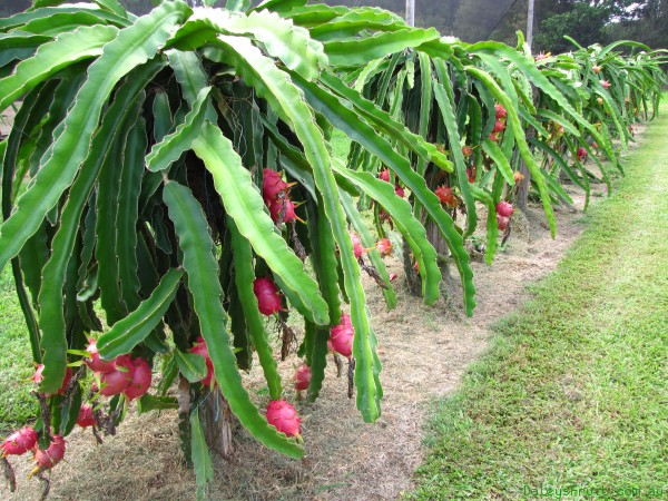 dragon fruits tree