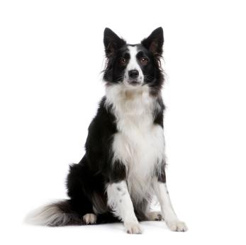 Herding Dog Breeds|Characteristics|Herding Dogs information