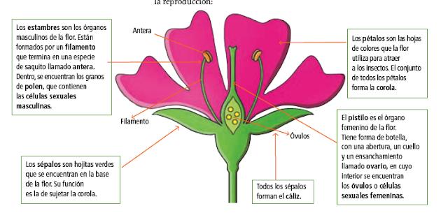 La flor y sus partes - Imagui