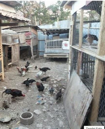 gambar kandang ayam kampung sistem umbaran