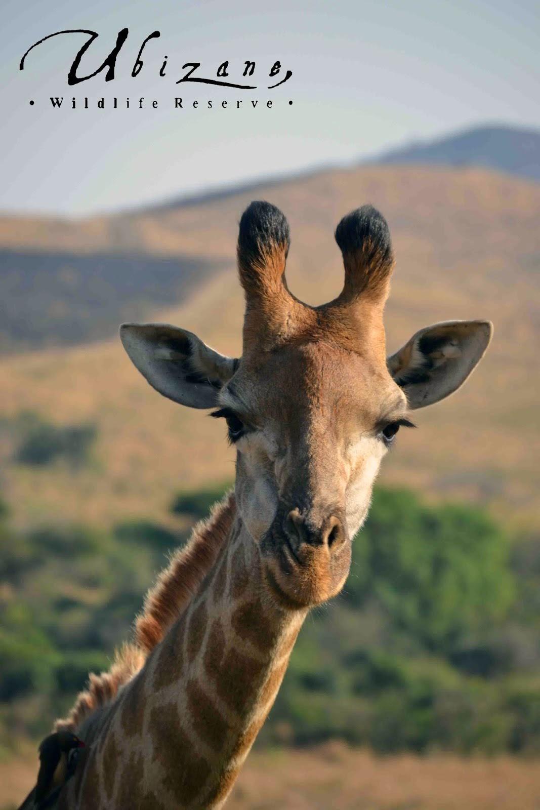 Ubizane Wildlife Reserve's Giraffe