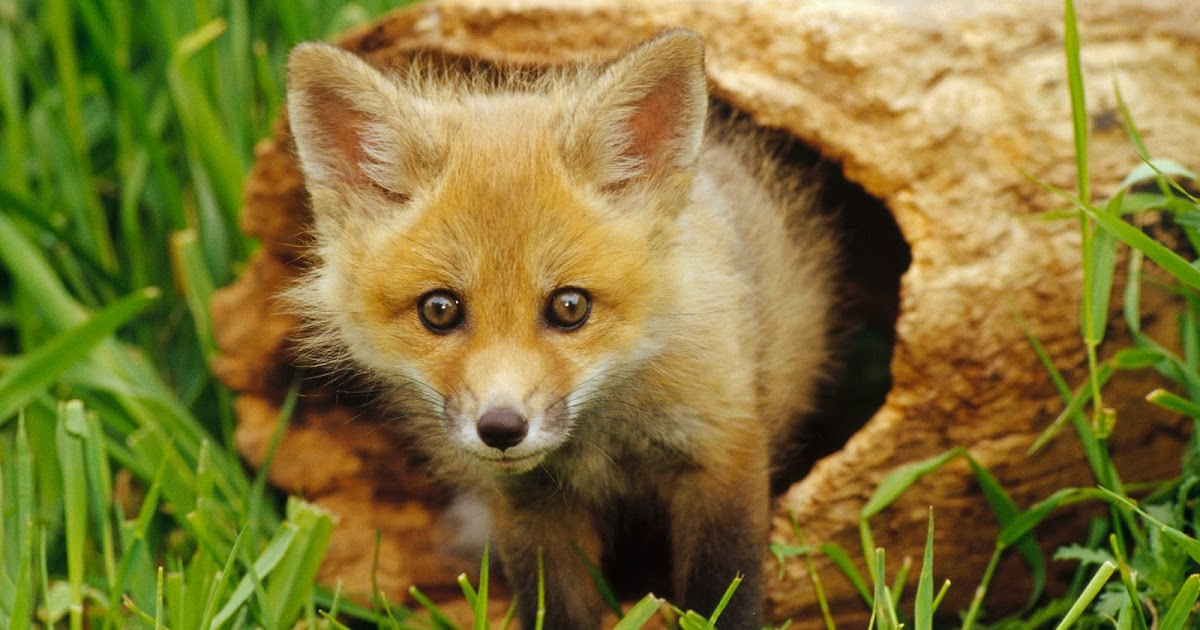 ACravan FOXES ARE LUCKY