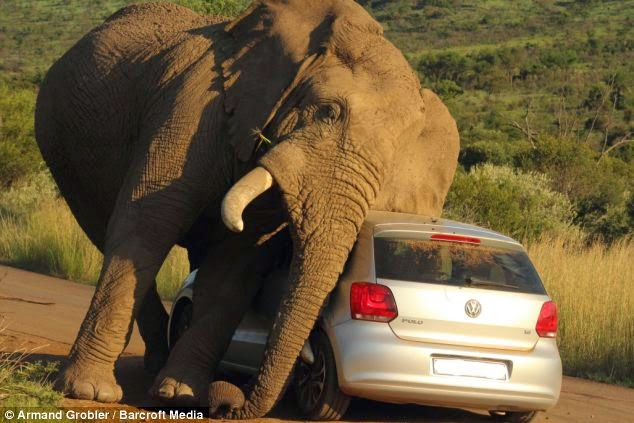 ELEPHANT FALLS IN LOVE WITH A CAR