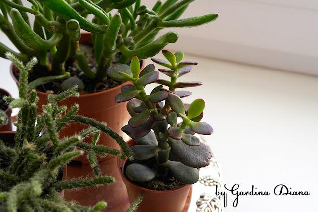Крассула овальная. Крассула Голлум. Фотографии кактусов и суккулентов. Виды крассулы и толстянки.