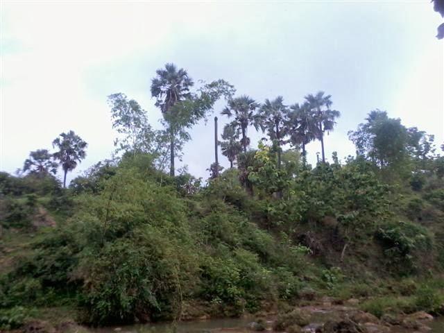 Pepohonan Siwalan/Lontar dipinggiran air terjun Banyu Langsih.