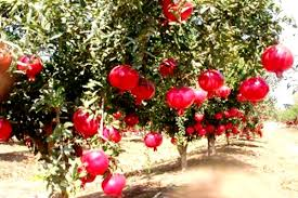 Pomegranate Tree Cultivation