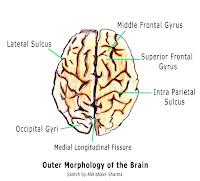 brian owens image human brain diagramshuman brain diagrams2, human brain diagrams3