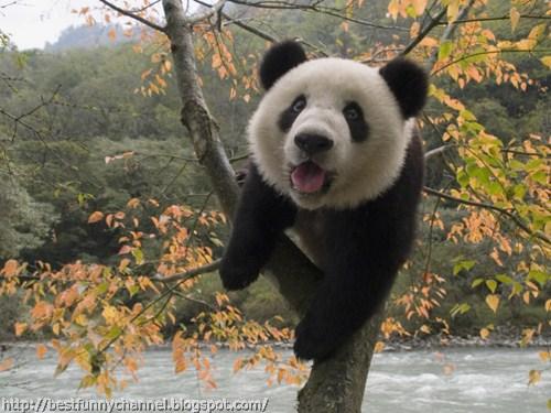panda bears pictures 41