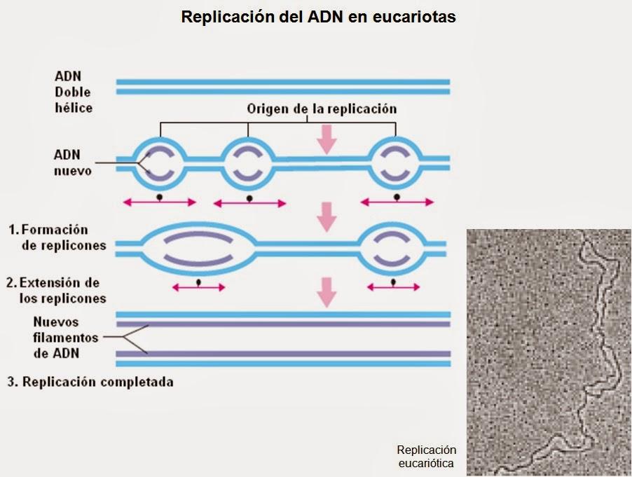 Replicaci N Del Adn Apuntes De Biolog A Molecular