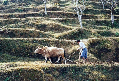 Nepal farmer manually ploughing a field with cows
