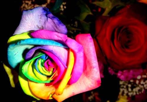 hoa hồng 7 màu đẹp nhất thế giới
