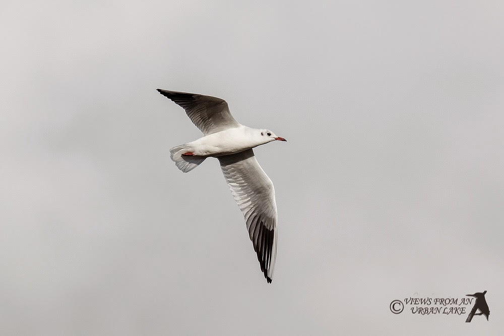 Black-headed gull in flight - Wolverton Mill, Milton Keynes