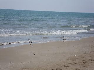 Punta de La Banya Beach seagulls - Sant Carles de La rápita