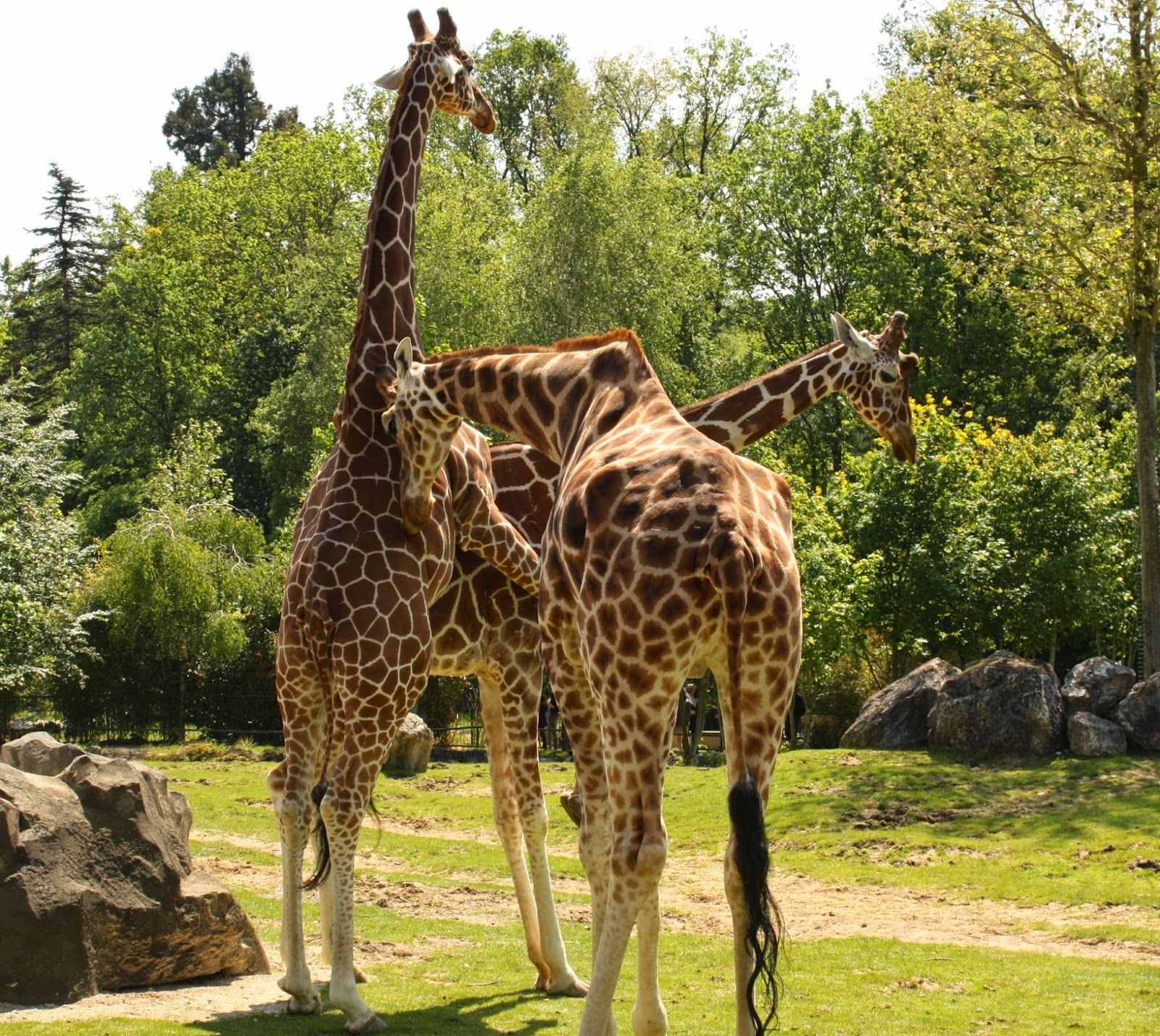 girages reproduction beauval