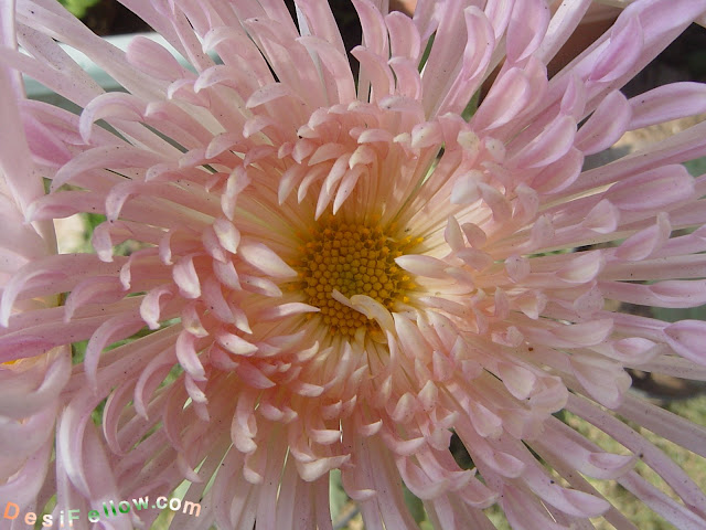 wisp of pink chrysanthemum photo in India