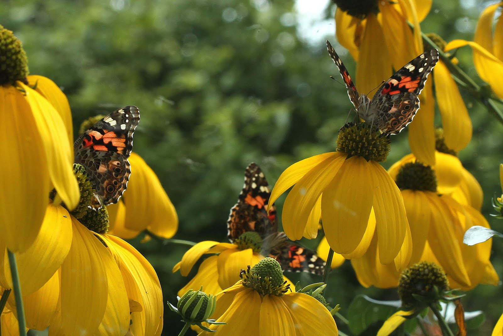 Painted Lady Butterflies on Yellow Coneflower -- Photo:Holly Massie