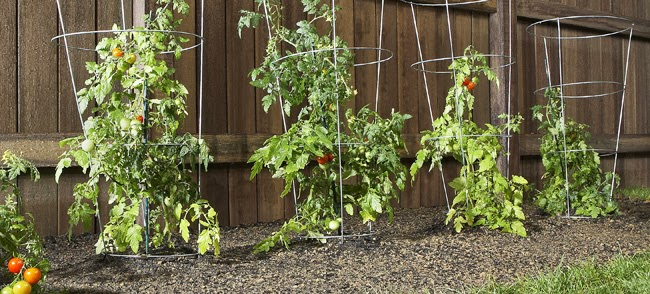 pin growing those tomatoes in containers on pinterest