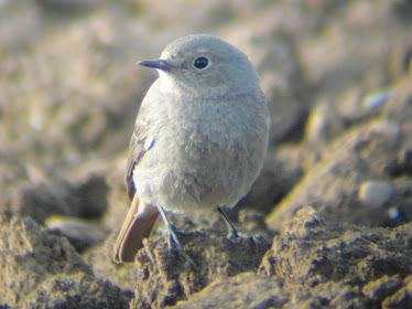 Black Redstart (Neatishead)