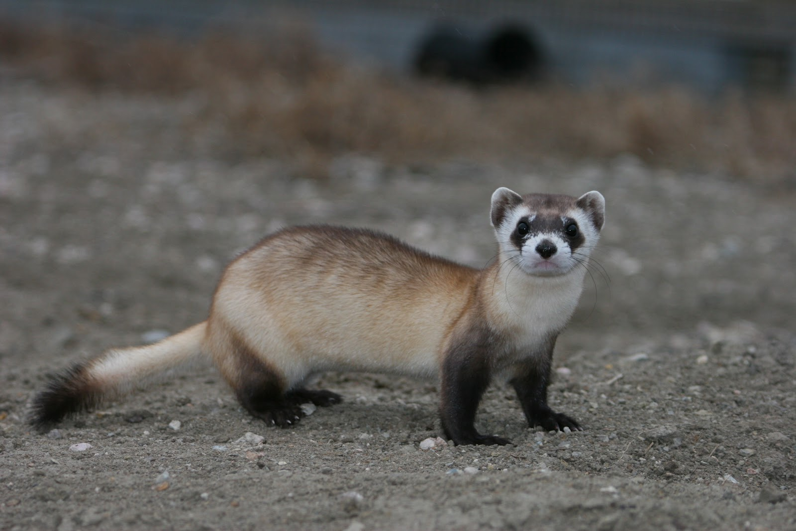 Black Footed Ferret - SNSH