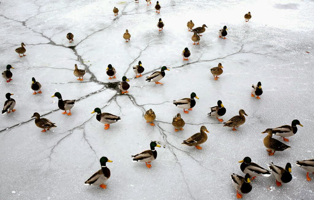 Funny animals of the week - 10 January 2014 (35 pics), ducks on ice