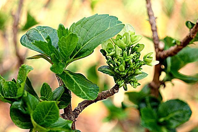 planta com folhas verdes e brotos