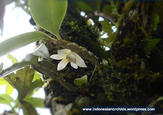 Eria sp anggrek spesies Meratus