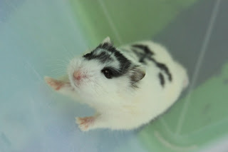 Hamster Black Mottled