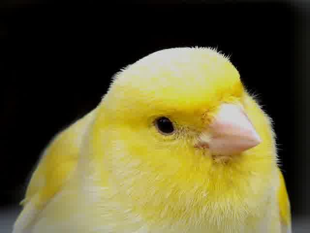 Sejarah Singkat Burung Kenari