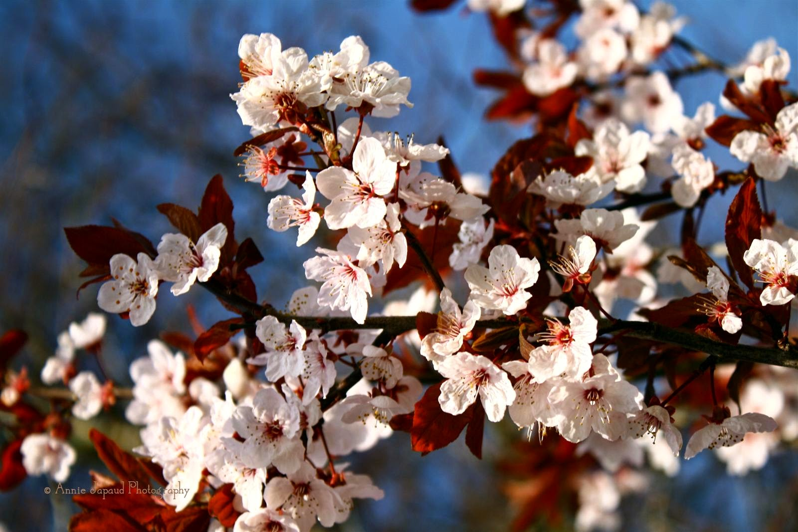 image of a branch covered in lovely spring white blossoms