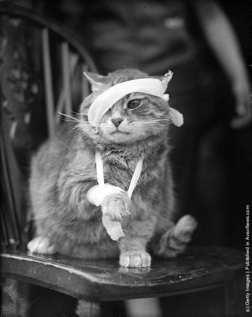Перевязанная кошка после полученных травм. (25 Мая 1935 г.)