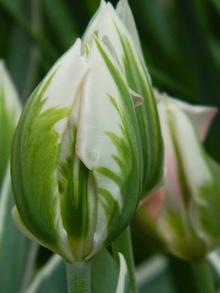 Green Wave Parrot tulip Centennial Park Conservatory 2015 Spring Flower Show by garden muses-not another Toronto gardening blog