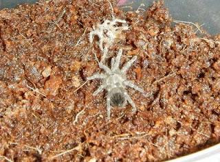 Brazilian Whiteknee Tarantula Molt
