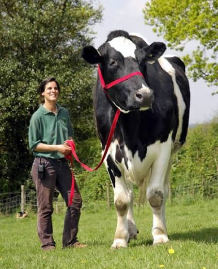World's Biggest Cow