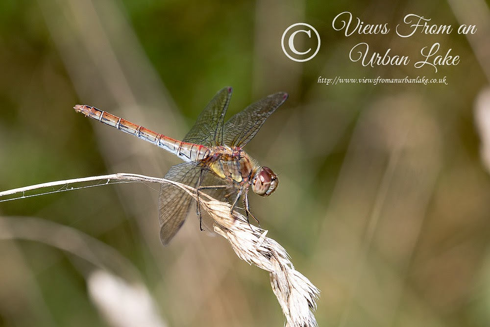 Common Darter (Old female) - Ouse Valley, Milton Keynes