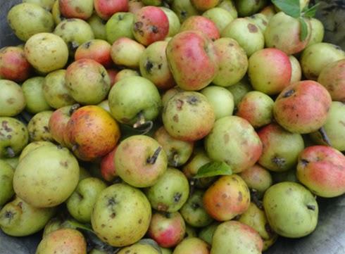 Mùa táo mèo Yên Bái