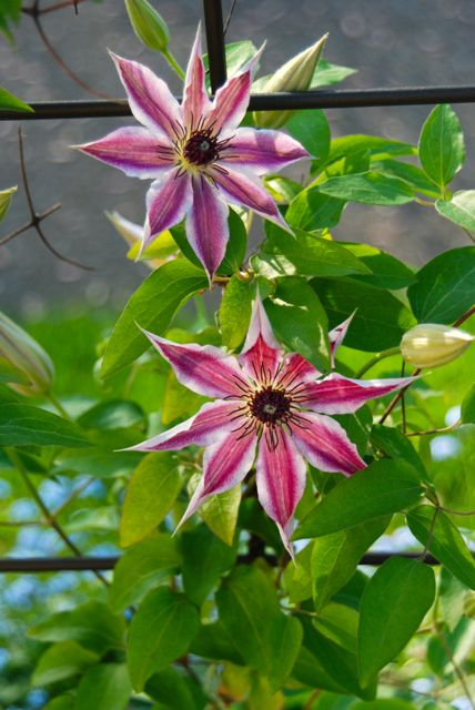 Clematis 'Nellie Moser' on trellis with blue forget-me-nots underneath.