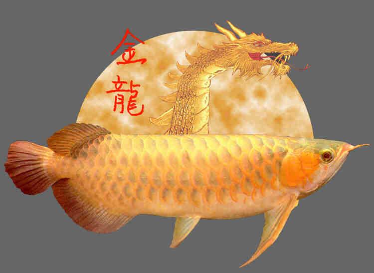 South East Asian Variant or Type Arowana as an Ornament Fish ...