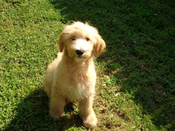 goldendoodle puppies for sale in michigan. Shaggy coat Goldendoodle by